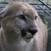 Mountain Lion P-55 Crosses 101 Freeway, Now Roaming Santa Susana Mountains