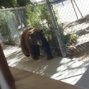 Two Bears Showed Up To A SoCal School Before Ditching For A Neighbor's Pool