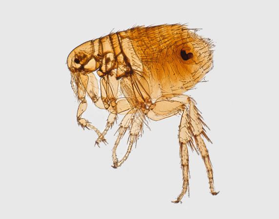There's A Flea-Borne Typhus Outbreak In Downtown LA