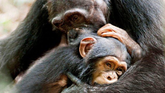 disney-chimpanzee.jpg