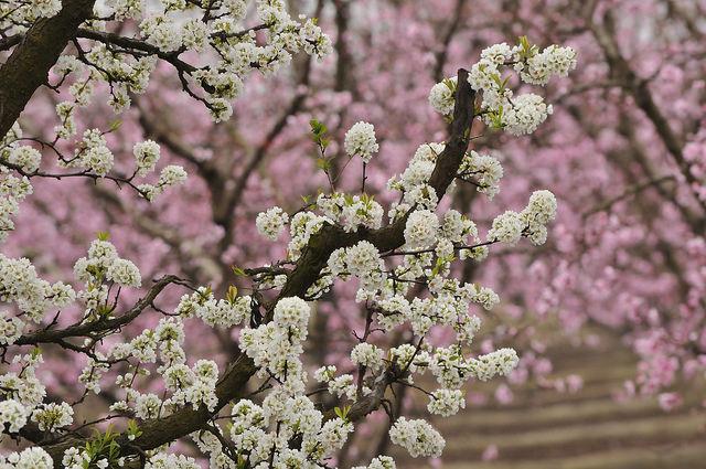 fresno-blossom -trail.jpg