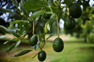 Is It OK To Take Avocados And Other Fruits From Your Neighbor's Tree? LA's Favorite Question, Revisited