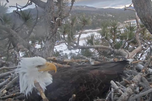 A Bald Eagle Laid An Egg In Big Bear, Live On Camera