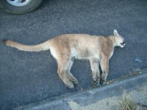 dead_mountain_lion1.jpg