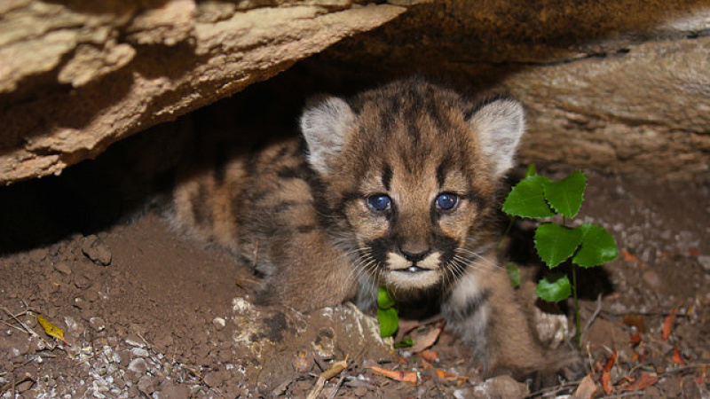 4 Mountain Lion Kittens Were Found Near LA — And You Aren't Ready For Them