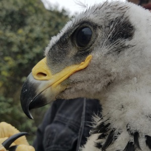 Golden Eagles Chicks Were Found In The Santa Monica Mountains -- The First In 30 Years