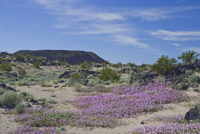 amboy-crater-wildflowers.jpg