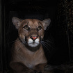 One-And-A-Half Year Old Puma Found In Santa Monica Mountains