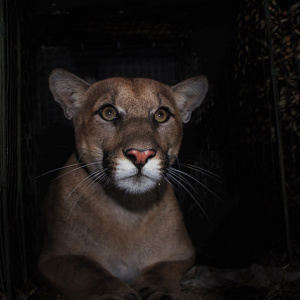 Mountain Lion P-61 Was Killed While Trying To Cross The 405