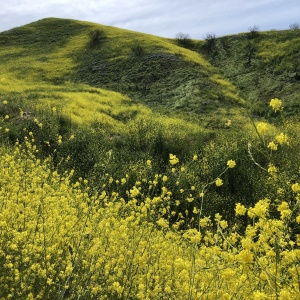 Those Wildflowers You 'Grammed From The Santa Monica Mountains Are Actually Dangerous Weeds