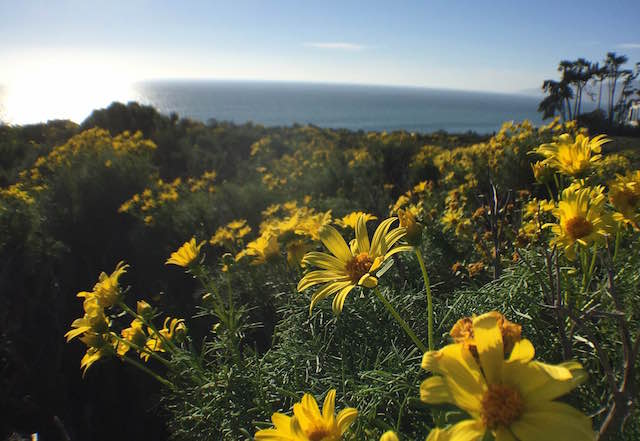 point-dume-wildflowers-2016.JPG